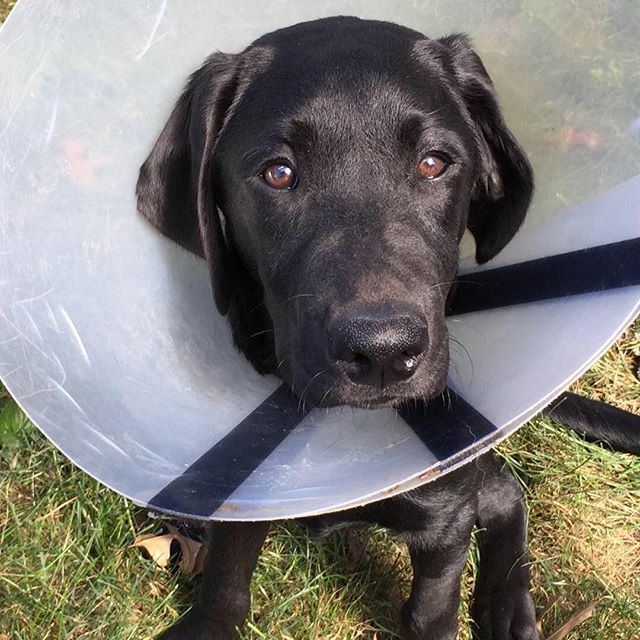 Things of been rather busy around the office as we have had to deal with a puppy problem. Our new Labrador retriever puppy named Zeke ate something he shouldn't and had to have it removed.
