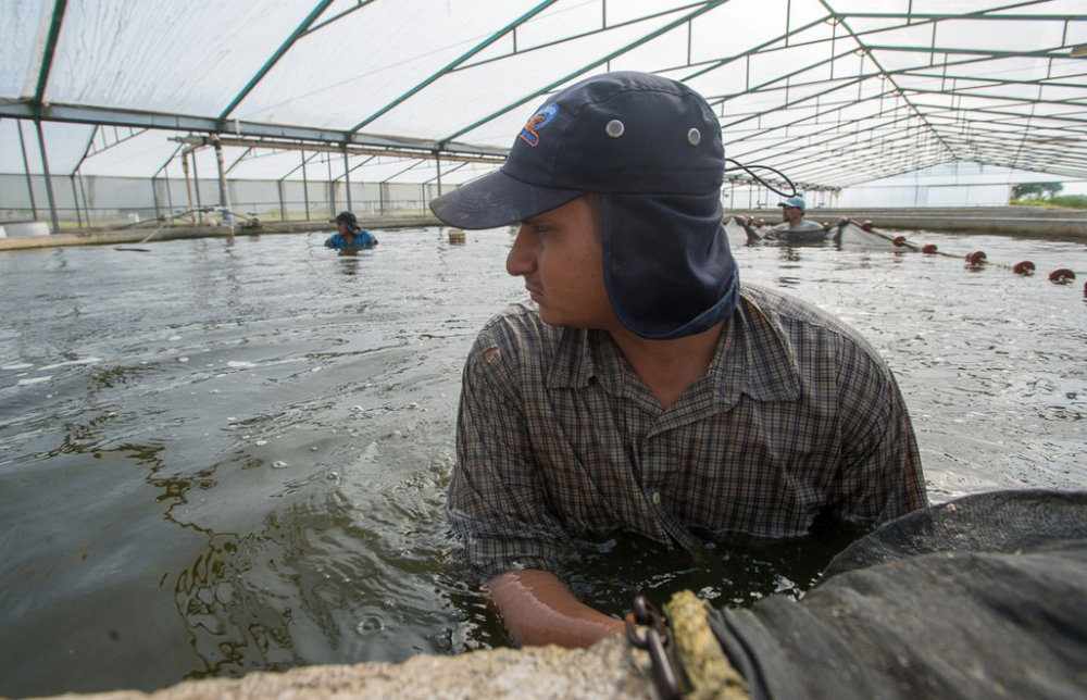 A worker pulls a net to capture fish in an aquaculture tank in Mexico.