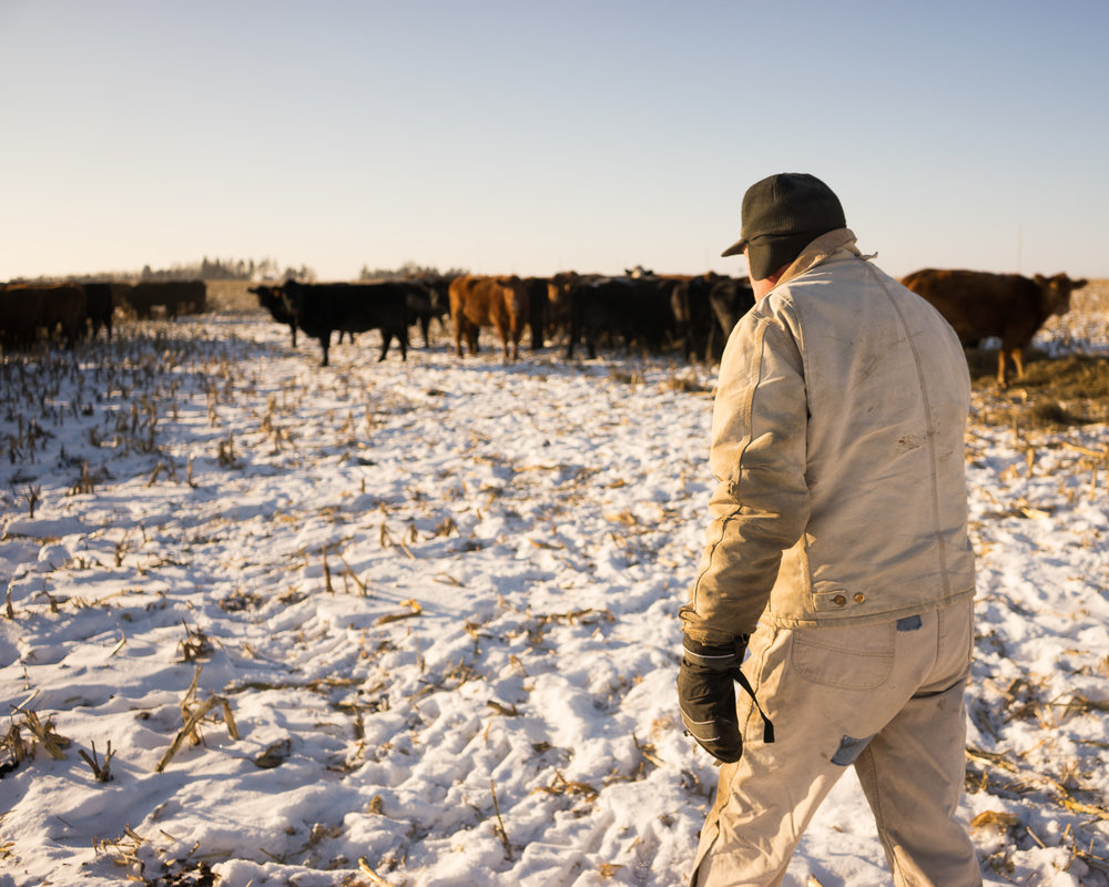 Jim Koch walks through the cattle making sure that they are doing okay. (Photo: Joseph L. Murphy)