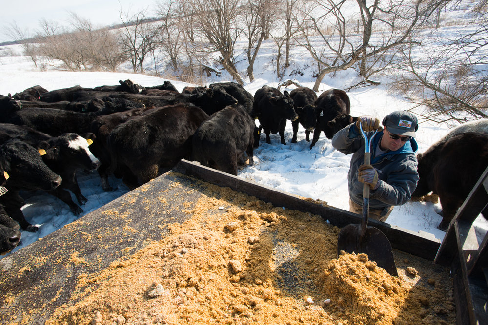 Tim Kaldenburg feeds cattle from the back of his truck during his morning chores. (Photo: Joseph L. Murphy)