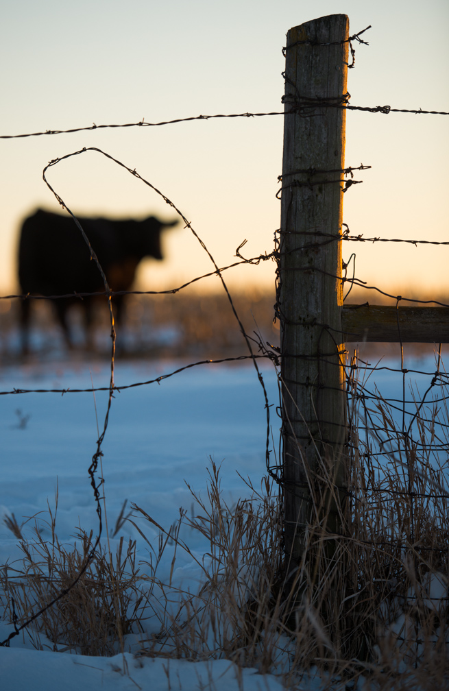 A cow grazes in a field partially covered with snow. Cold weather has filtered into the state. (Photo: Joseph L. Murphy)