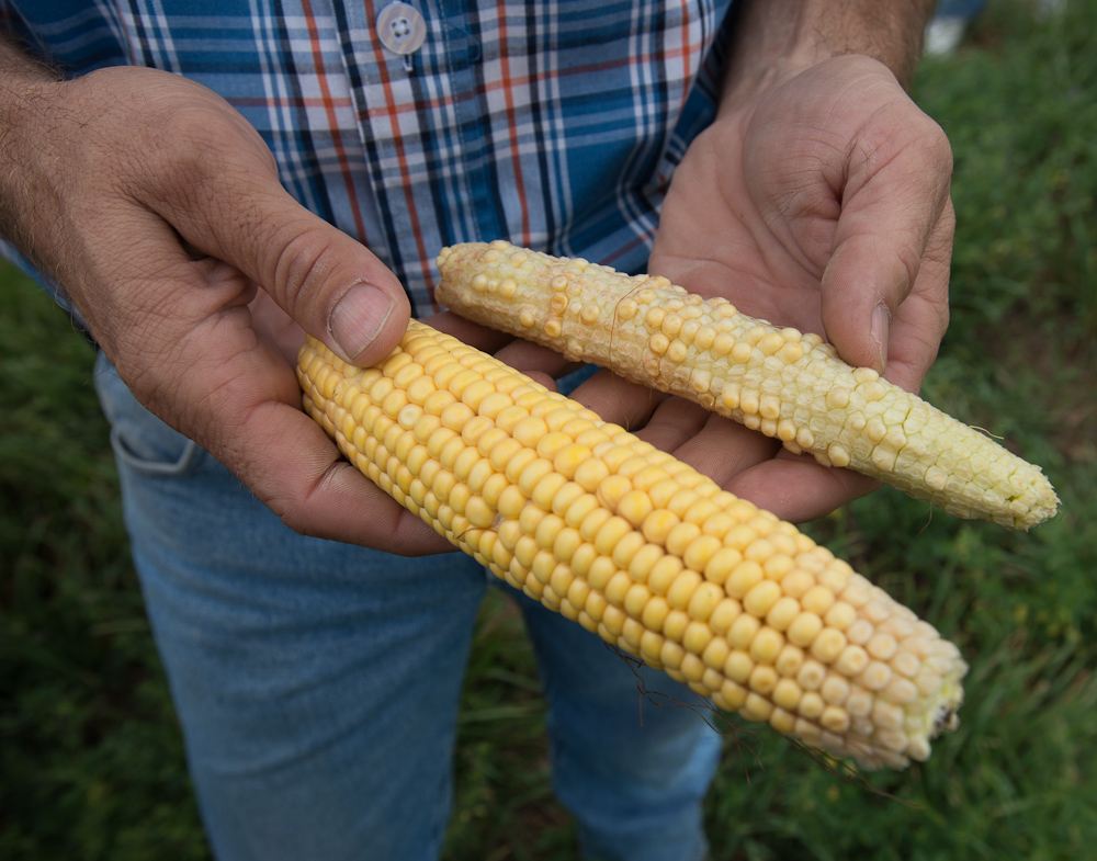 A farmer holds a normal ear of corn next to one that has been impacted by drought. (Photo: Joseph L. Murphy)