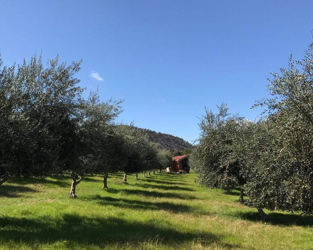 Shacky Olive grove.JPG