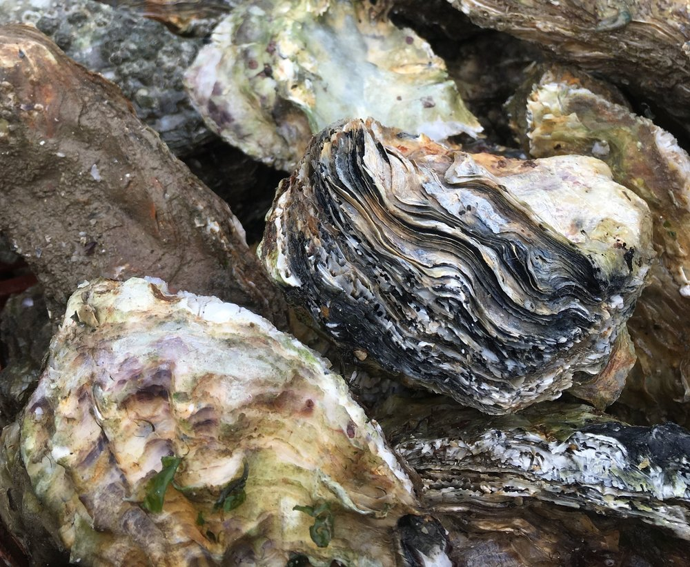 Mersea oyster close up.jpg