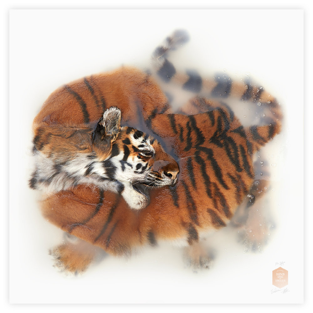 DSvT-160x160-Tiger.jpg