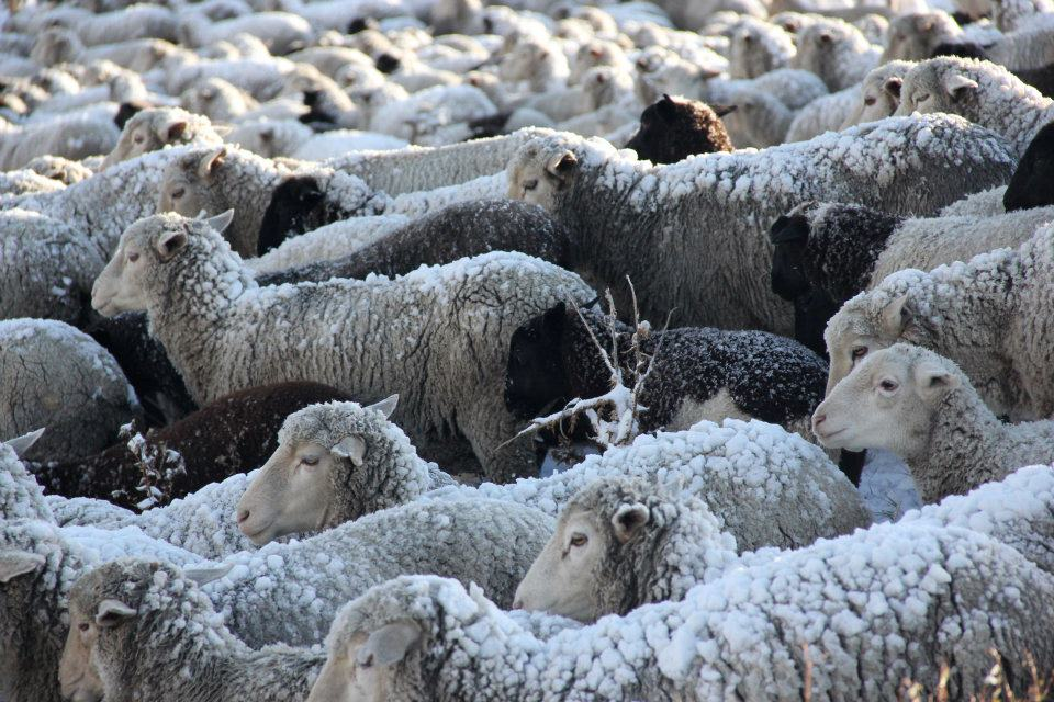 Our flock stays warm in their woolen coats after a snowstorm in the San Juan mountains.