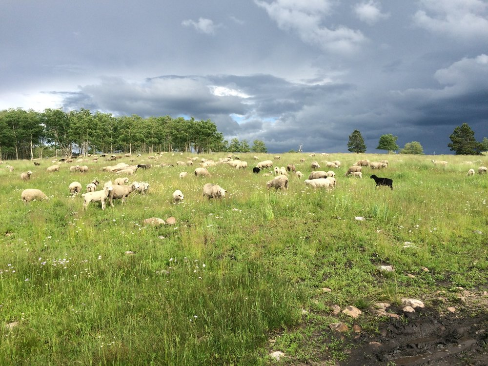 Ewes and lambs on summer pasture at about 8500 feet elevation