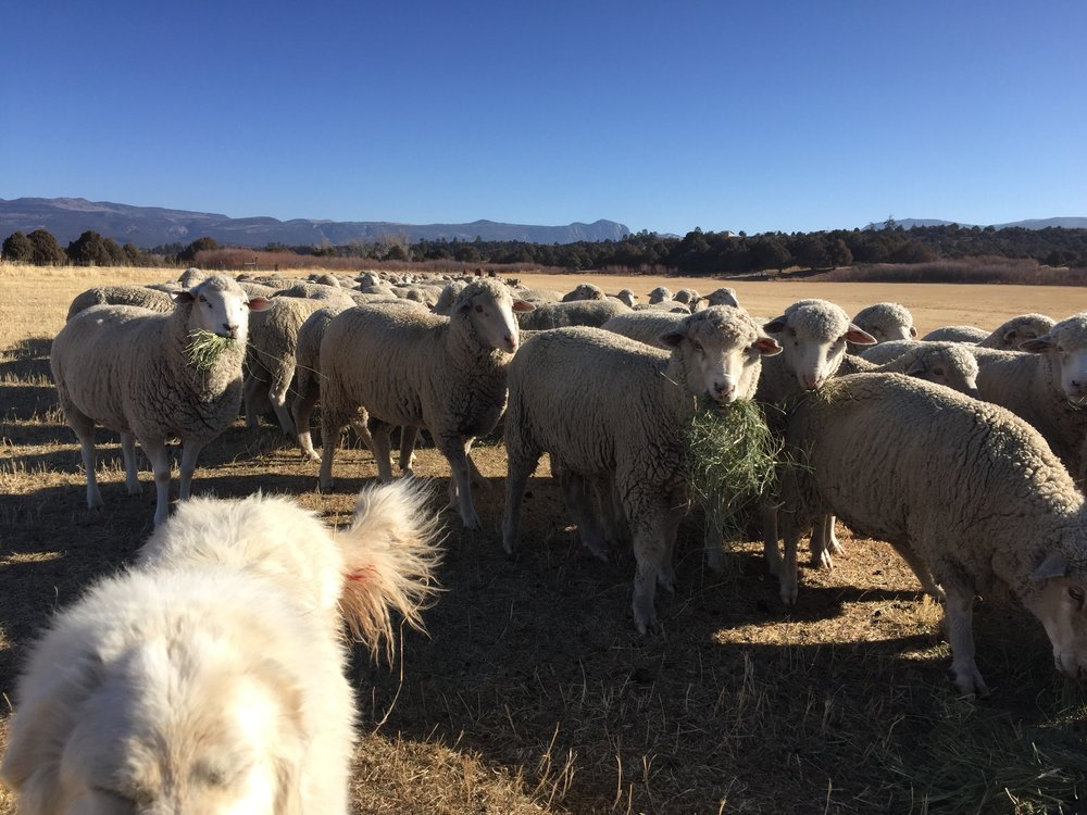 This is the Rambouillet flock (separated from the Navajo/Churro flock during breeding season).