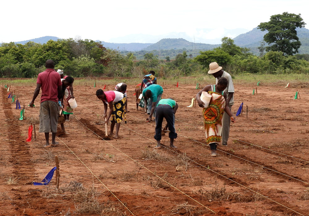 African Farming Trials Create Food for Thought    COSMOS Magazine