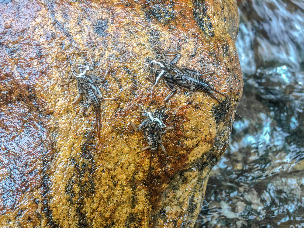 Stonefly husks from the nights previous hatch.  Look for these on stream side rocks or bridge abutments they can be a great clue as to what pattern you should be fishing.