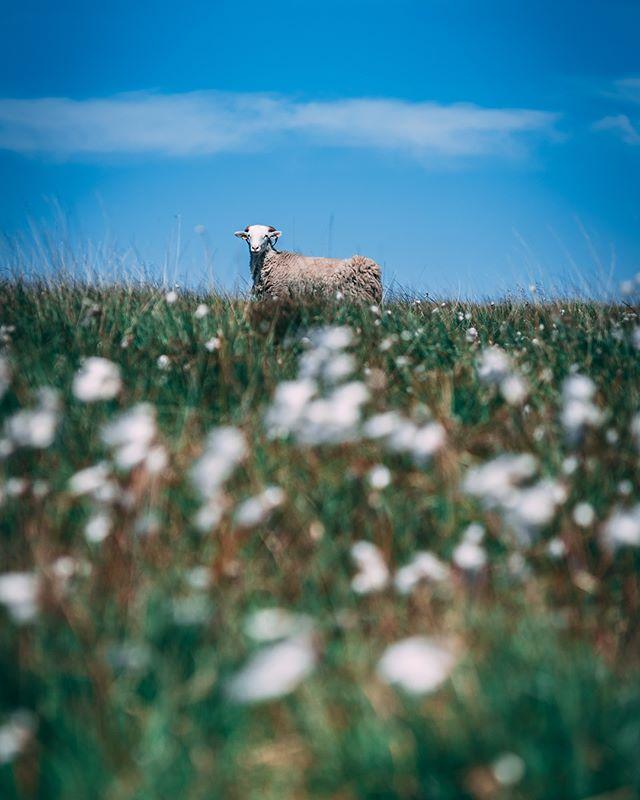 A little walk around the local reservoir today.  #yorkshirephotographer #huddersfield #sheep #ram #yorkshire #landscape #landscapephotography #reservoir #water #trees #flowers #summer #nikon #nikond750