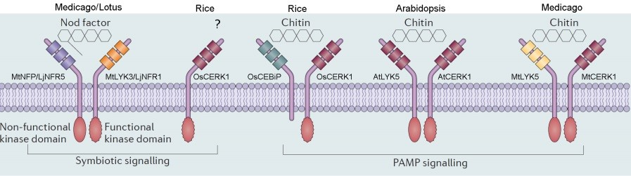 Figure 1 : The LysM receptors are responsible for the recognition of chitin and Nod factor in plants