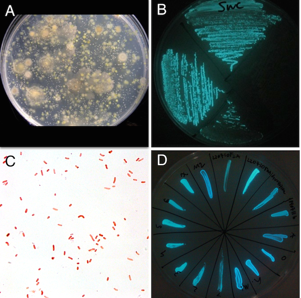 Figure 1.  Environmental bioluminescent bacteria isolation. A, Plate after O/N incubation at RT plated with 1mL of shore seawater. B, Propagation plate with streaked colonies for isolation of bioluminescent bacteria. C, Gram strain micrograph of an isolated strain (63x). D, Multiple isolated bioluminescent bacteria streaked on a single plate for cross-comparative visualization of bioluminescence levels.