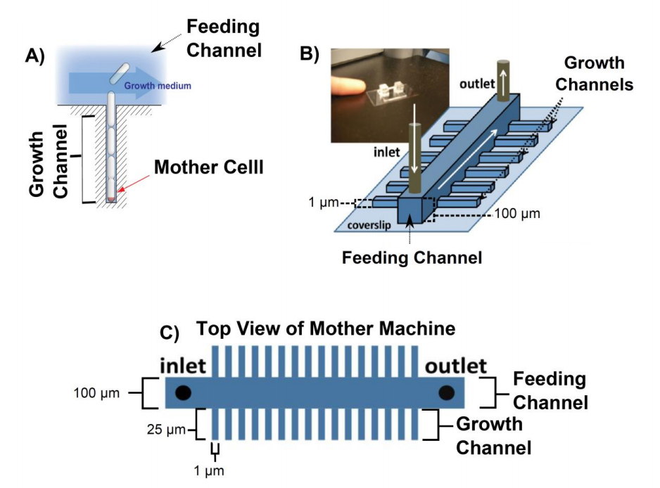 Figure 1.  Overview of the mother machine. A) The mother cell is trapped at the bottom of a dead ended channel. As the cells divide they get pushed out of the growth channel into the feeding channel where they get flushed away. B) Sketch of the mother machine and a picture of the microfluidic device. C) Top view of mother machine. The large channel in the middle of the device is called feeding channel and the small channels branching out of the feeding channel are called growth channels. All figures were adapted from (1)