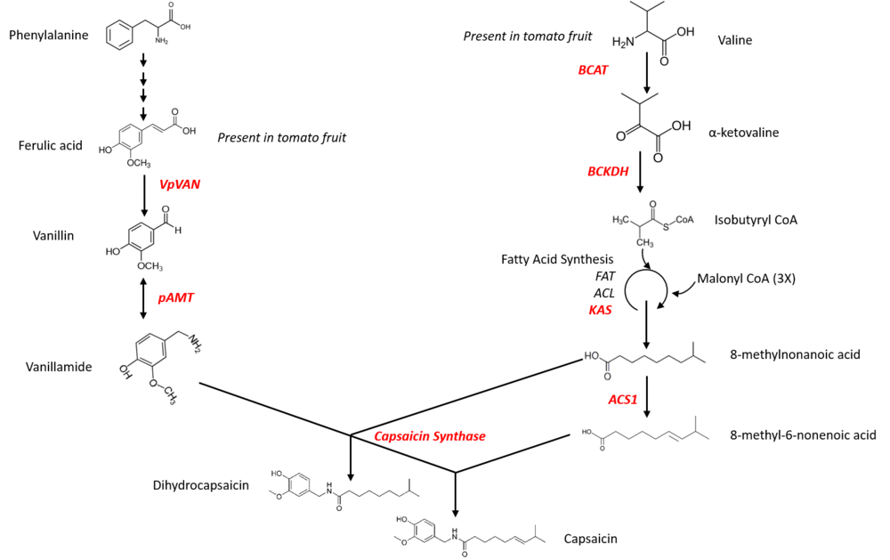 "16.00         Figure 1. Engineering the capsaicin pathway in tomato. Genes in red were cloned to complete the pathway in tomato. All genes originate from chili pepper with the exception of VpVAN which was isolated from the vanilla orchid (Vanilla planifolia), as the chili pepper enzyme for this step is not yet known.         Normal   0           false   false   false     EN-GB   X-NONE   X-NONE                                                                                                                                                                                                                                                                                                                                                                                                                                                                                                                                                                                                                                                                                                                                                                                                                                                                       /* Style Definitions */  table.MsoNormalTable 	{mso-style-name:""Table Normal""; 	mso-tstyle-rowband-size:0; 	mso-tstyle-colband-size:0; 	mso-style-noshow:yes; 	mso-style-priority:99; 	mso-style-parent:""""; 	mso-padding-alt:0cm 5.4pt 0cm 5.4pt; 	mso-para-margin:0cm; 	mso-para-margin-bottom:.0001pt; 	line-height:115%; 	mso-pagination:widow-orphan; 	font-size:11.0pt; 	font-family:""Arial"",sans-serif; 	color:black;}"