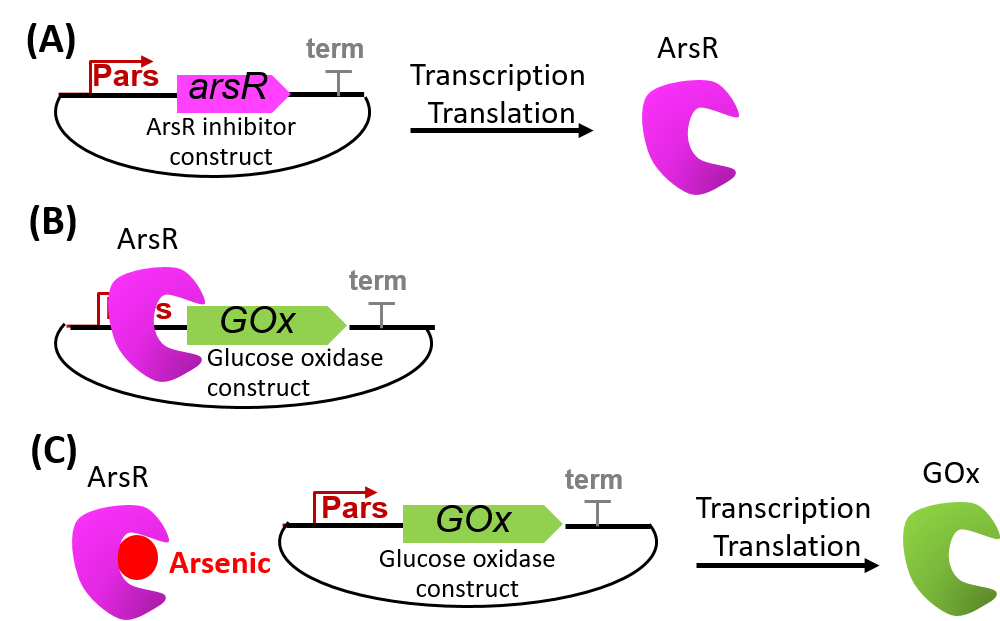 Figure 2. The interactions of the genetic constructs