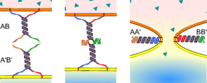 Figure 1.  Design and function of membrane-fusing DNA nanostructures. Two samples of liposomes/cells are functionalised with complexes AB and A'B' respectively (left). When the two samples are mixed the complexes bind, bridging together the membranes (centre). Binding progresses all the way to the anchoring point of the nanostructures and complexes rearrange to form AA' and BB' duplexes. At this stage the membranes are taken in close proximity and fusion is induced (right).