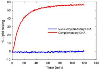 Figure 2.  Bulk fusion (fluorimetry) assay between functionalised LUVs. In samples were LUVs carry complementary DNA fusion is observed. If non-complementary DNA is used the show no fusion.