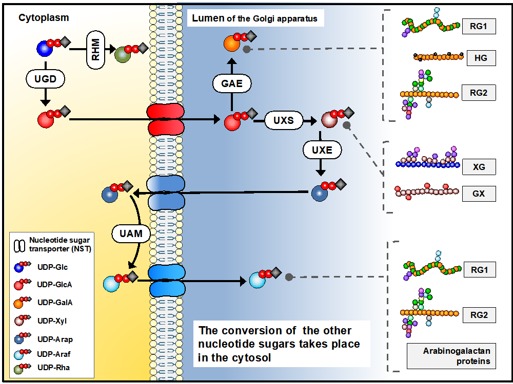 Figure 1.  Biosynthesis of sugar nucleotides in plant cells. Sugar nucleotides are required for pectin (RG1, RG2, HG), xyloglucan (XG) and xylan synthesis.  Figure presented after Temple et al., Glycobiology, 26 (9), 913–925.