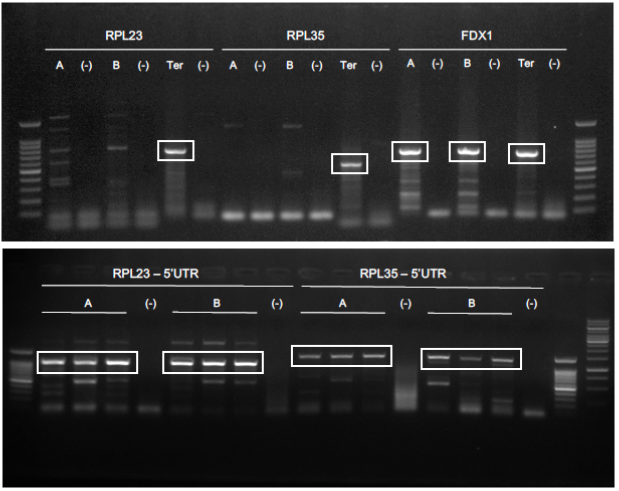 Figure 1.  PCR performed to isolate 5' and 3' flanking regions for RPL23, RPL35 and FDX1 from  C. reinhardtii  genomic DNA. A, promoter region using primers with 3' overhang TACT; B, promoter region using primers with 3' overhang AATG; Ter, terminator region. White squares indicate right sized bands.