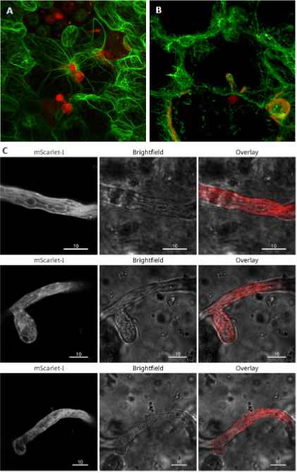 Figure 1.  Dynamic rearrangement of actin filaments (GFP) at the epidermal infection sites with  Phytophthora palmivora  (RFP) (A) and around intracellular haustoria of  P. palmivora  (B). Actin labelling in  P. palmivora  expressing Lifeact:mScarlet-I (C).