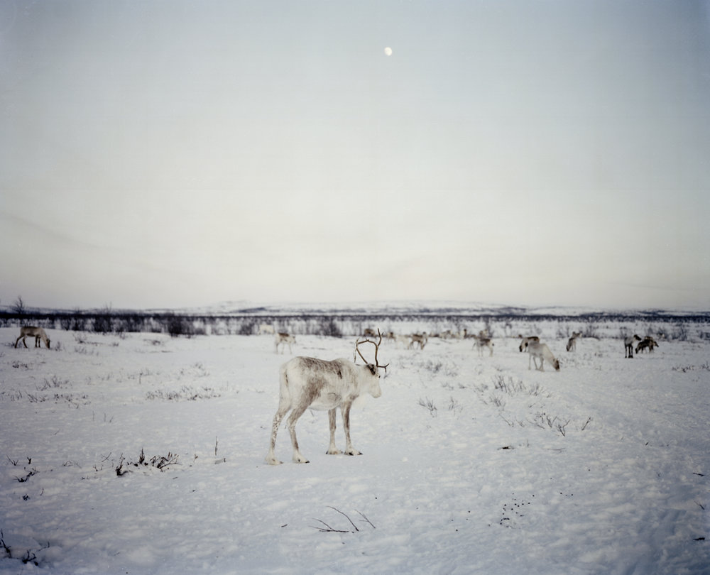 Winter Reindeer and the Moon