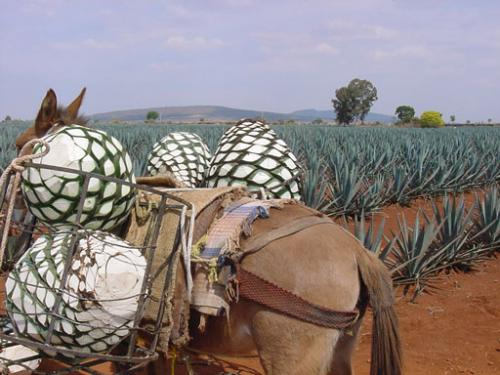 Harvesting Agave for Tequila Production