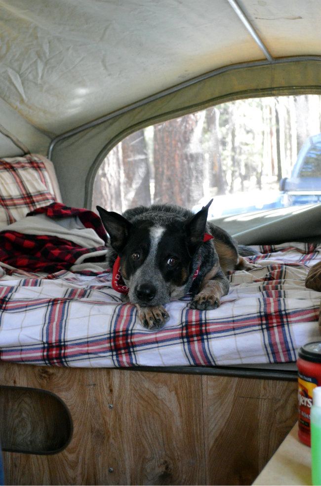 Camping Dog | CaretoPair.com