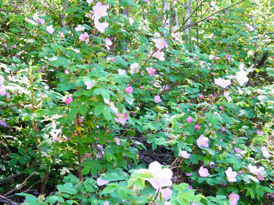 rose6.PNG