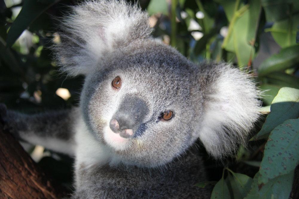 koala taronga zoo www.annakooiman.com anna kooiman sydney australia