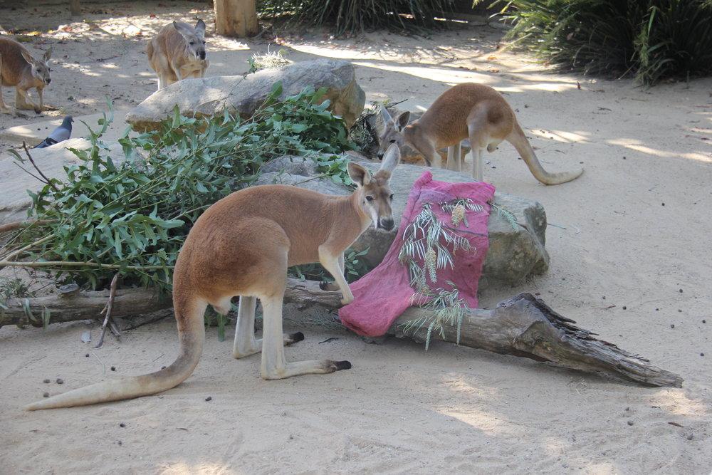 red kangaroo sydney taronga zoo www.annakooiman.com