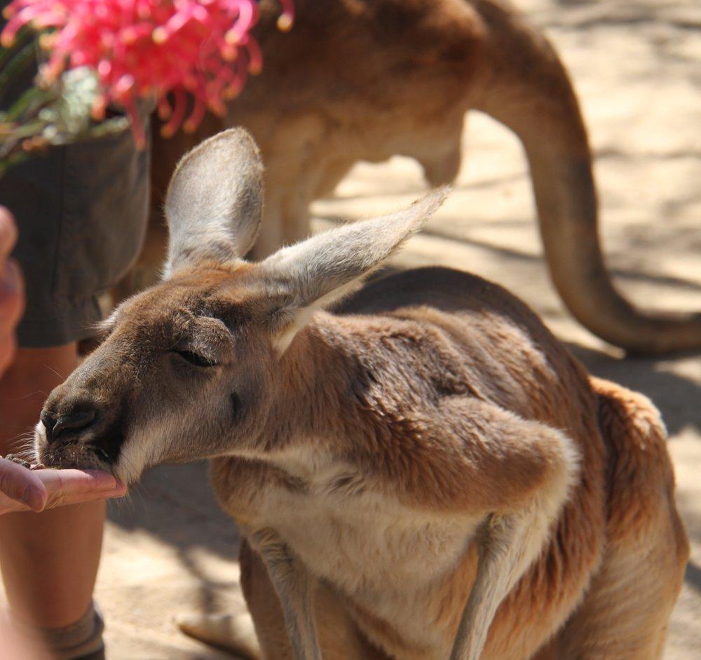 red kangaroo anna kooiman sydney taronga zoo www.annakooiman.com fitness travel lifestyle
