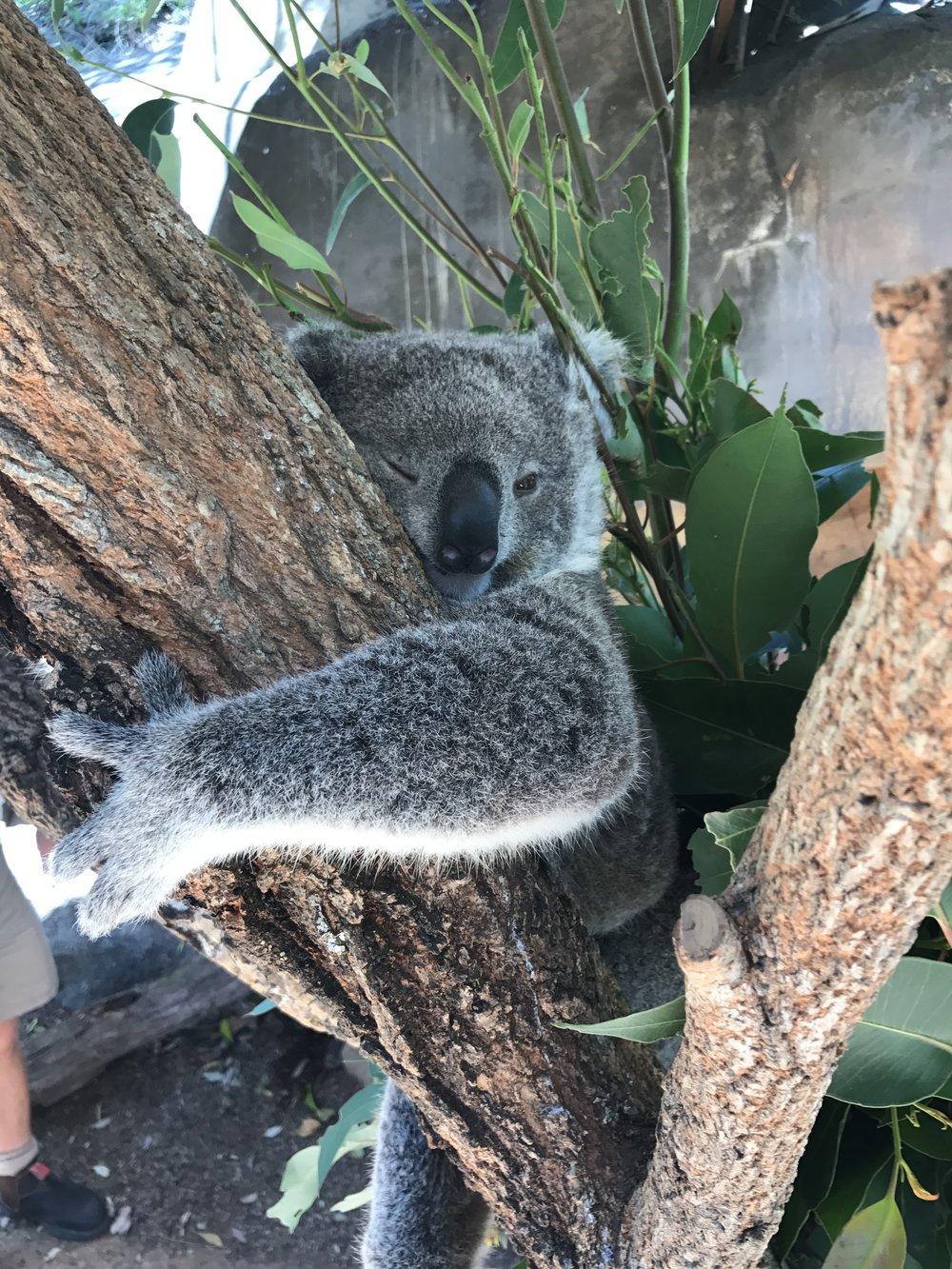 koala taronga zoo sydney anna kooiman www.annakooiman.com fitness travel lifestyle