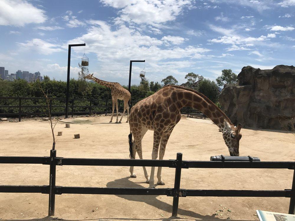 giraffe taronga zoo anna kooiman sydney australia www.annakooiman.com fitness travel lifestyle