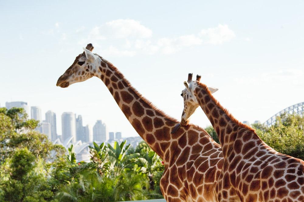 giraffe taronga zoo anna kooiman www.annakooiman.com fitness travel lifestyle