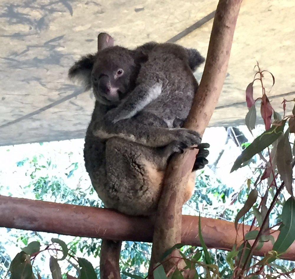 Anna Kooiman annakooiman.com koalas cairns tropical queensland australia hartleys crocodile adventures fitness travel lifestyle fashion television