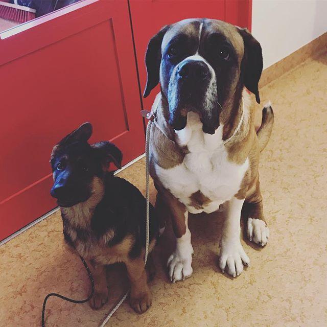Härlig duo 😍 #schäfer #sanktbernhard #rottweiler #storochliten #radarpar #töre #töredjurklinik
