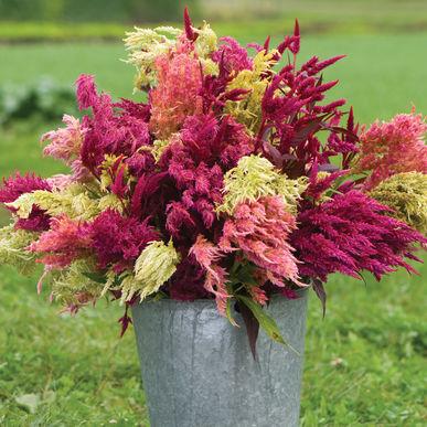 Celosia Season: Summer, Fall