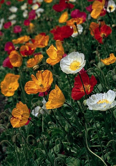 Icelandic Poppy Season: Spring