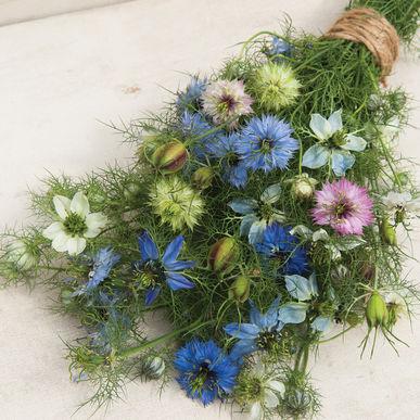 Nigella/Love-In-A-Mist Season: Spring, Summer