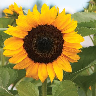 Sunflower Season: Summer, Fall