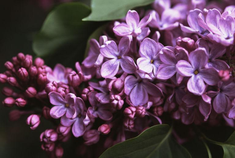 Lilac Season: Spring