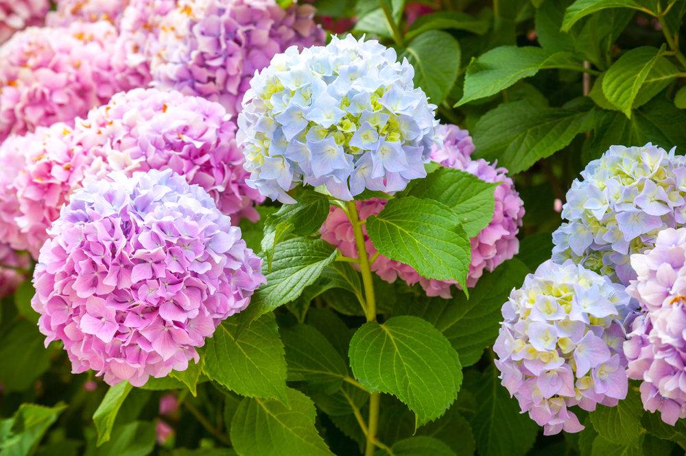 Hydrangea Season: Summer
