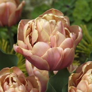 Tulips Season: Spring