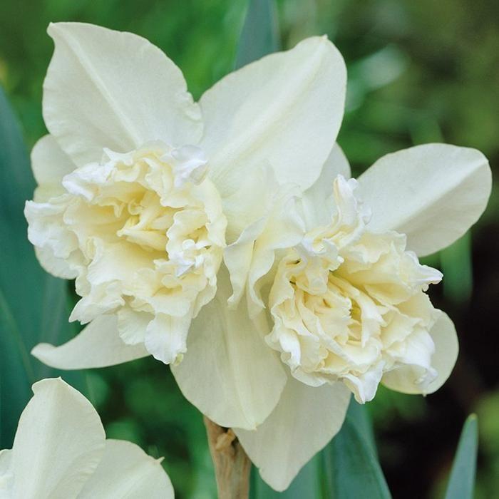 Daffodil Season: Spring