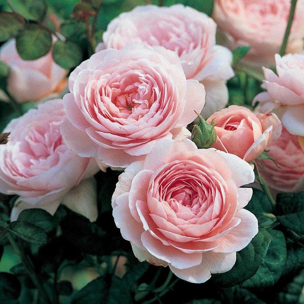 Roses Season: Summer