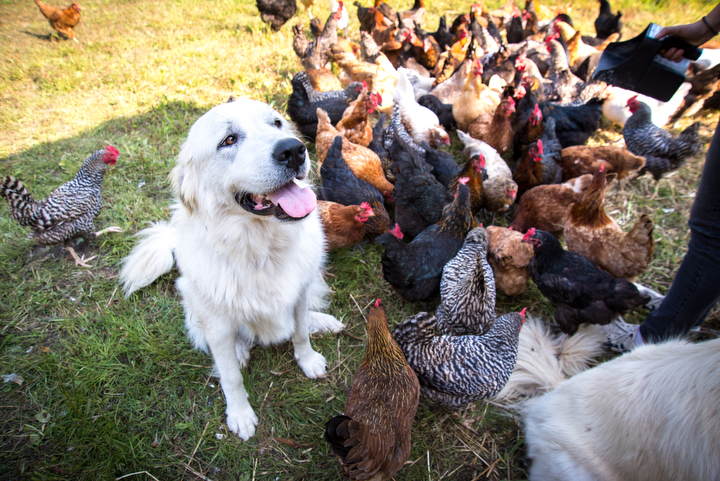 Teddy watches over the flock. This past year we had almost 200 chickens!