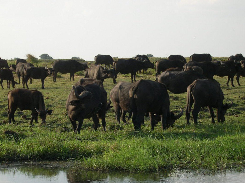 Chobe safari