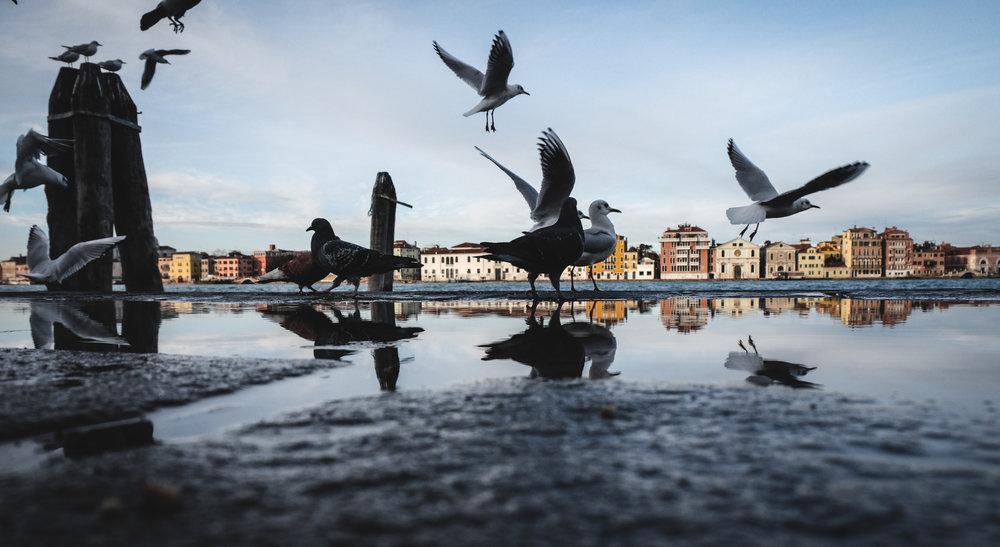 Giudecca_birds