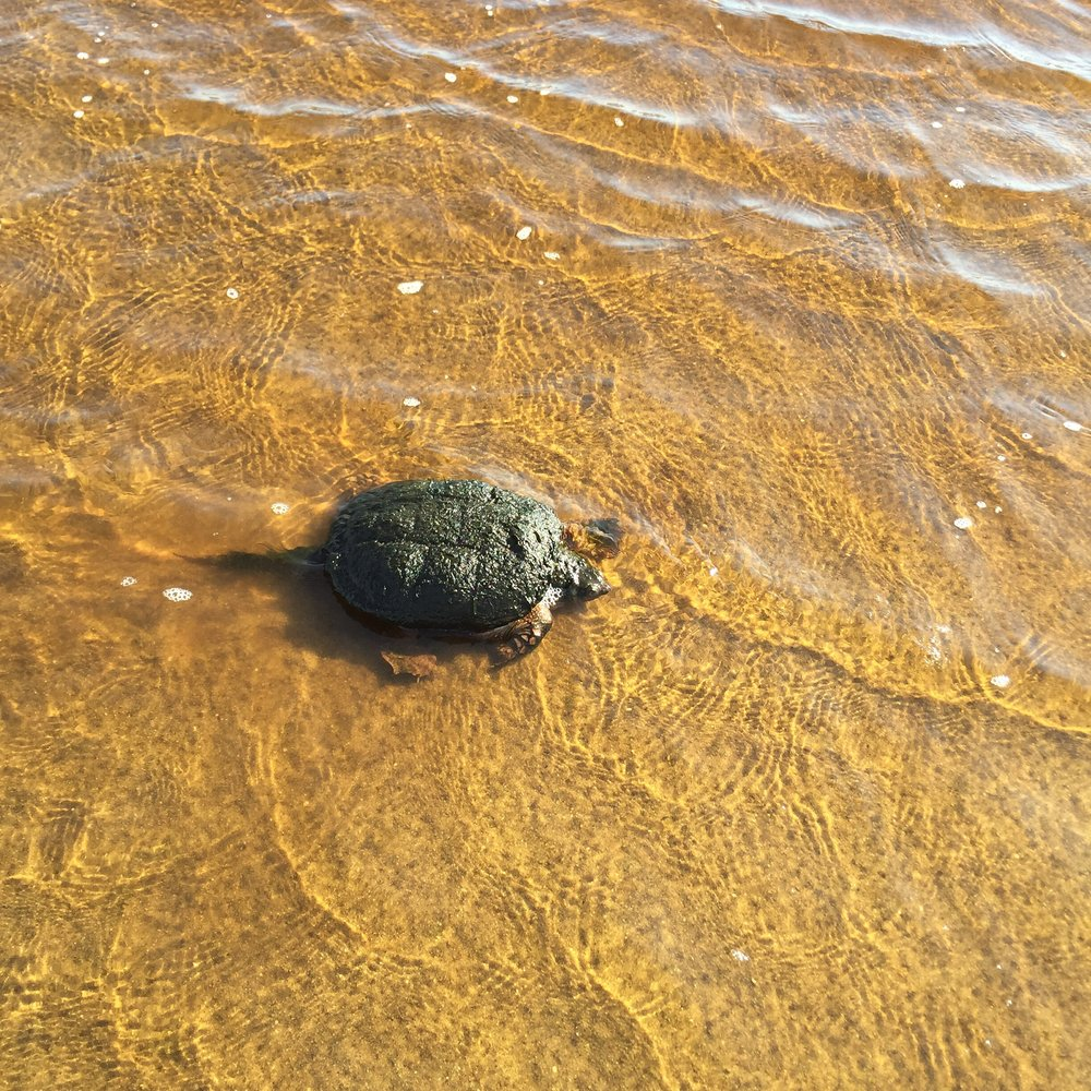 A snapping turtle at the ocean end of Clark Cove.